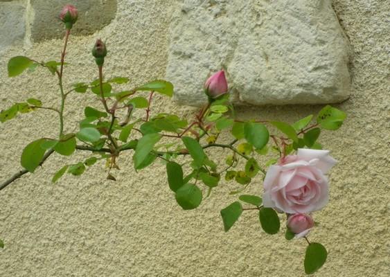 Rosa 'New Dawn' !!! 01062016