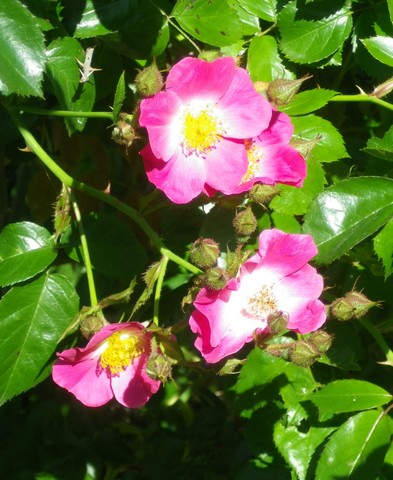 Rosa 'American Pillar' !!! 05062010
