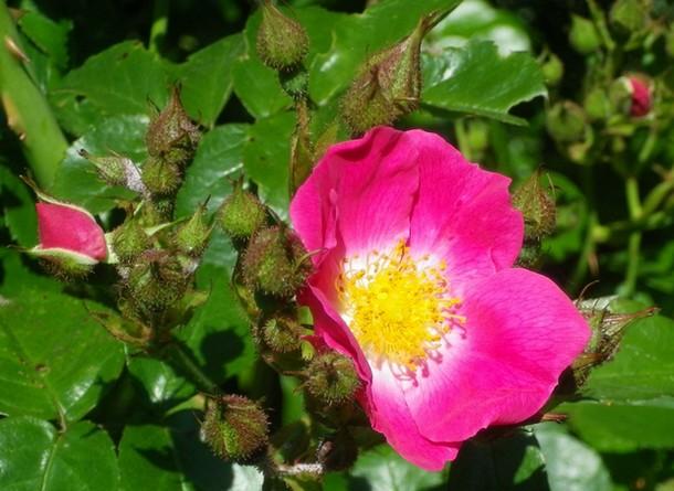 Rosa 'American Pillar' !!! 05062011