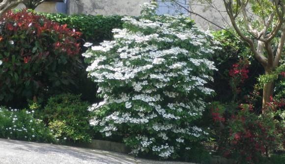Viburnum plicatum 'Watanabe' !!! - Page 2 06052012