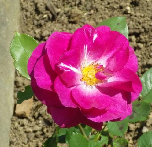 Rosa 'Violette Parfumée !!! - Page 2 06062012