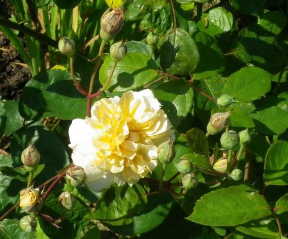 Rosa 'Buff Beauty' !!! - Page 2 06062036