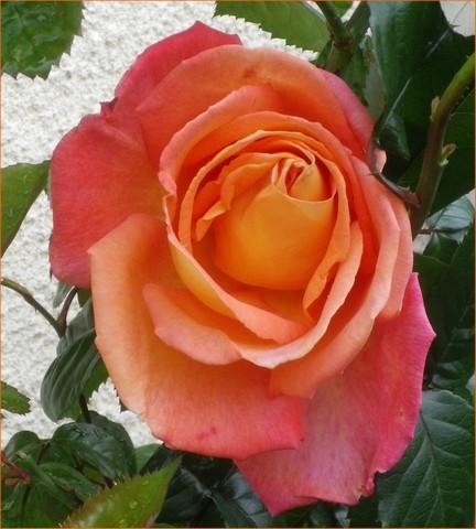 Rosa 'Sdeb' !!! 08062025