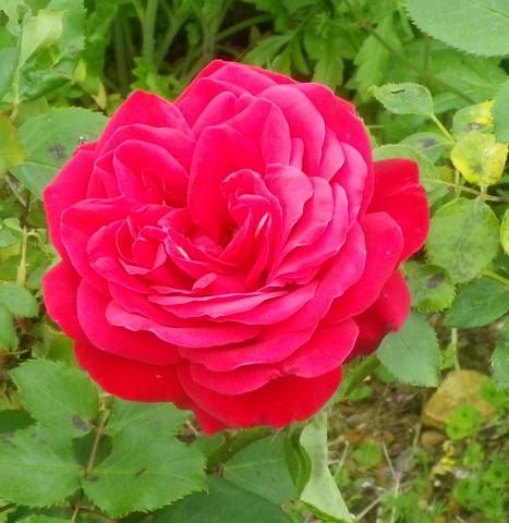 Rosa 'Mr Lincoln' !!! 11052020