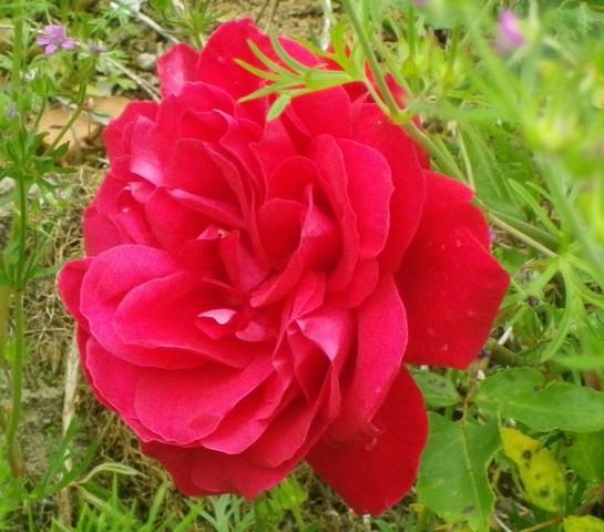 Rosa 'Mr Lincoln' !!! 11052021
