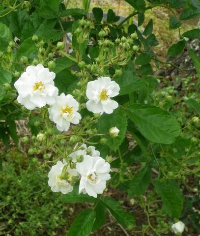 Rosa 'Thalia' !!! 11052032