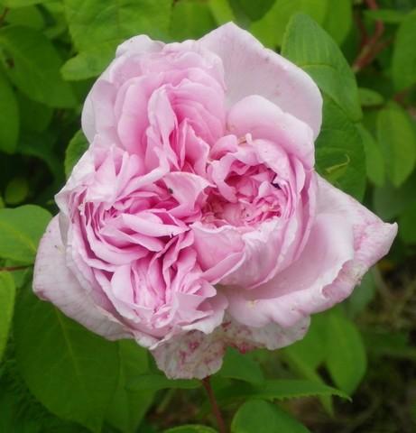 Rosa 'Enfant de France' !!! 12052014