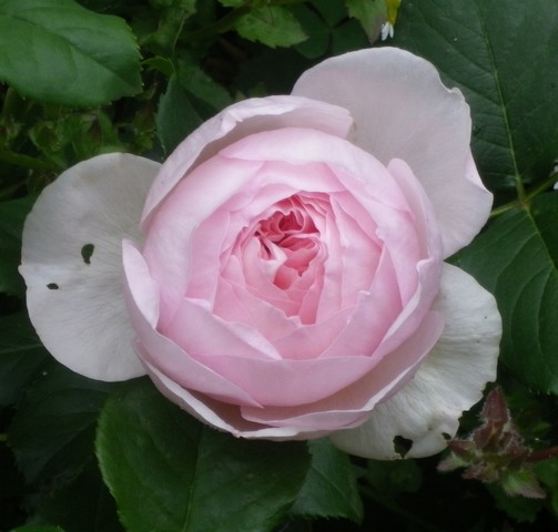 Rosa 'Héritage' !!! - Page 2 14052011