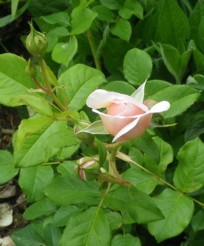 Rosa 'Héritage' !!! - Page 2 14052015