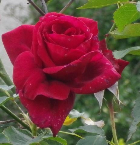 'Red Parfum' !!! 14052037