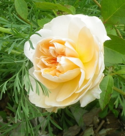 Rosa 'Papi Delbard' !!! 17052031