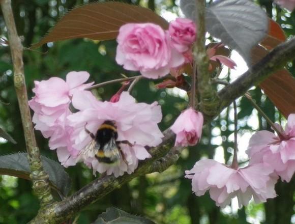 Prunus serrulata 'Kanzan' !!! 20042014