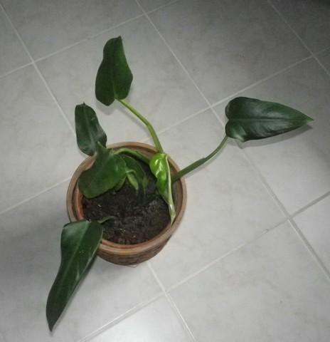 Philo xxx /// Philodendron erubescens ??? 22052010