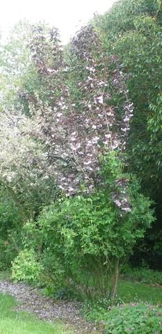 Prunus serrulata 'Kanzan' !!! 27042013