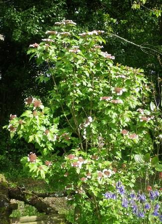 Viburnum sargentii 'Onondaga 27042014