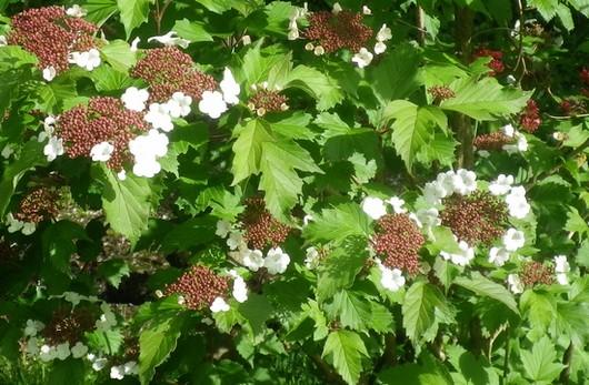 Viburnum sargentii 'Onondaga 27042015