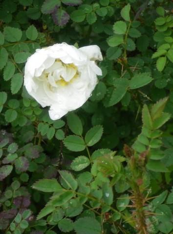 rosier pimpinellifolia 29052028