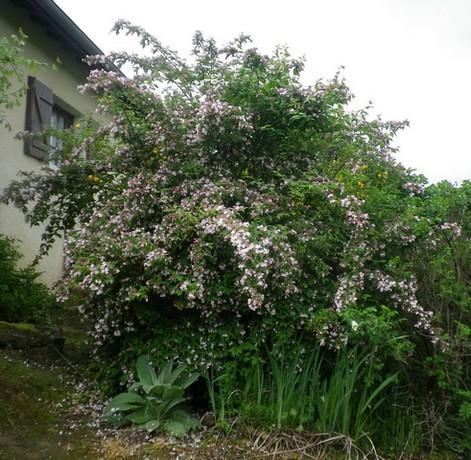 Koltwitzia Amabilis 'Pink Cloud' 30042010