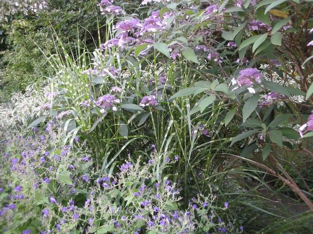-31- Le bleu au jardin !!! Aout_212