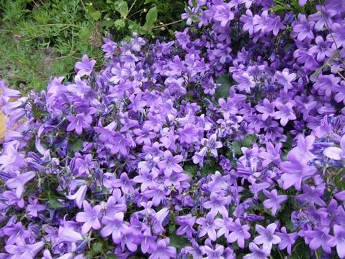 -31- Le bleu au jardin !!! Campan11