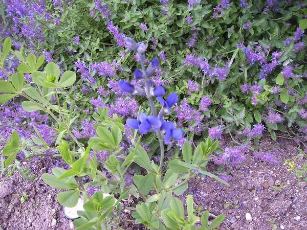 -31- Le bleu au jardin !!! Cp1011