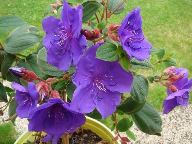 -31- Le bleu au jardin !!! - Page 2 Dsc09611