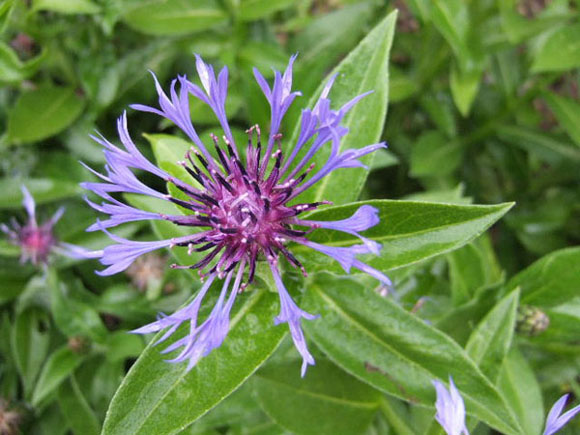 -31- Le bleu au jardin !!! Fleurs11