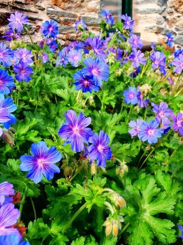 -31- Le bleu au jardin !!! Gerani11