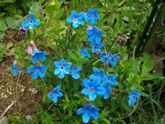 -31- Le bleu au jardin !!! Mai_0211