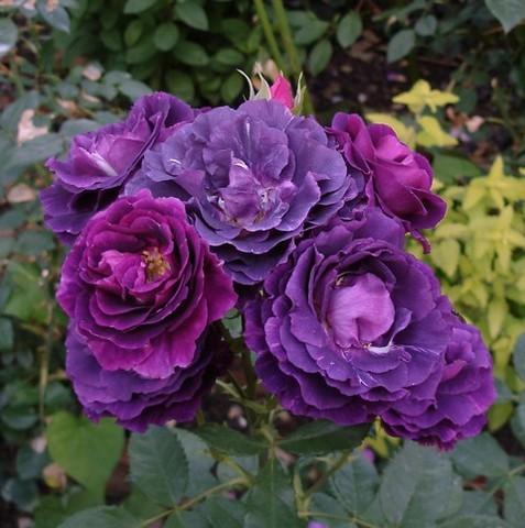 -31- Le bleu au jardin !!! Mystar10