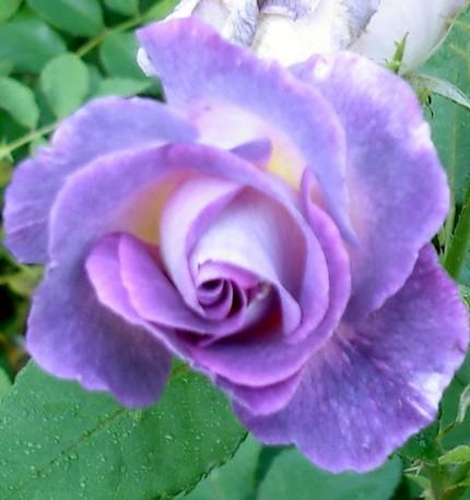 -31- Le bleu au jardin !!! Pacifi10