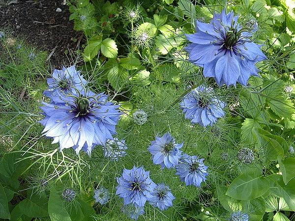 -31- Le bleu au jardin !!! Pic_3210