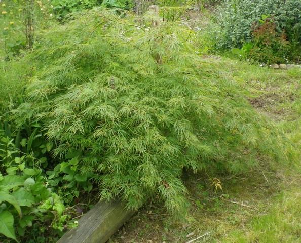 Acer palmatum 'Dissectum' !!! Sonya_11