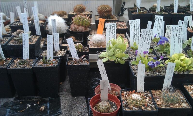 Gattung Primula - Primeln, Aurikeln, Schlüsselblumen 2013-012