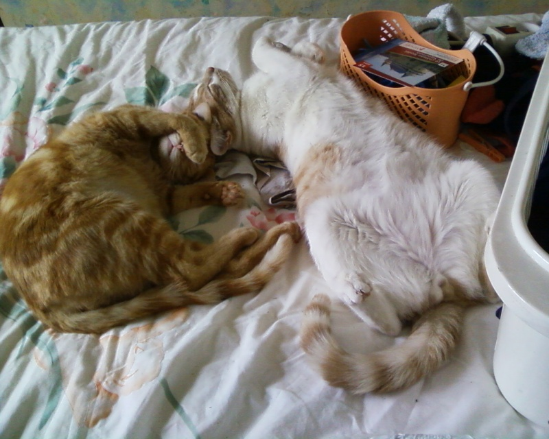 Décibel chaton trigré roux et blanc 5 mois Photos10