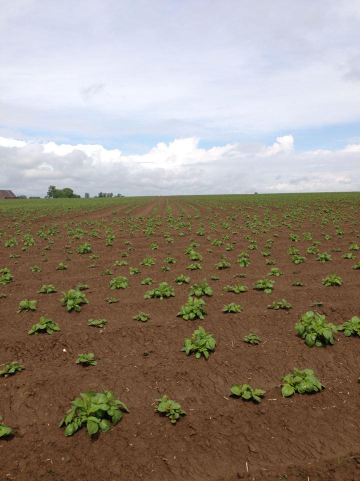 Evolution des cultures de pommes de terre 2013 24918110