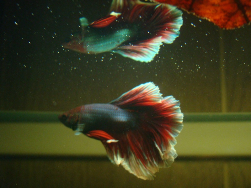 Aquarium de mon Betta  Dsc07214