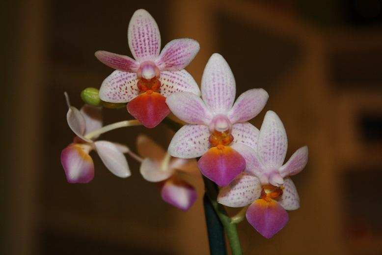 Phalaenopsis Fantasy Musick! Fantas10