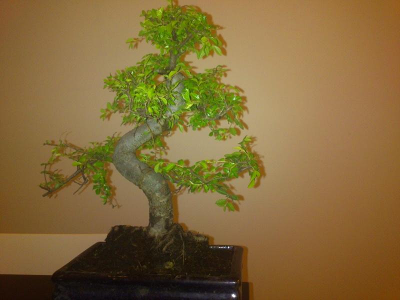 Nuovo bonsai appena preso? E'.... Dsc_0110
