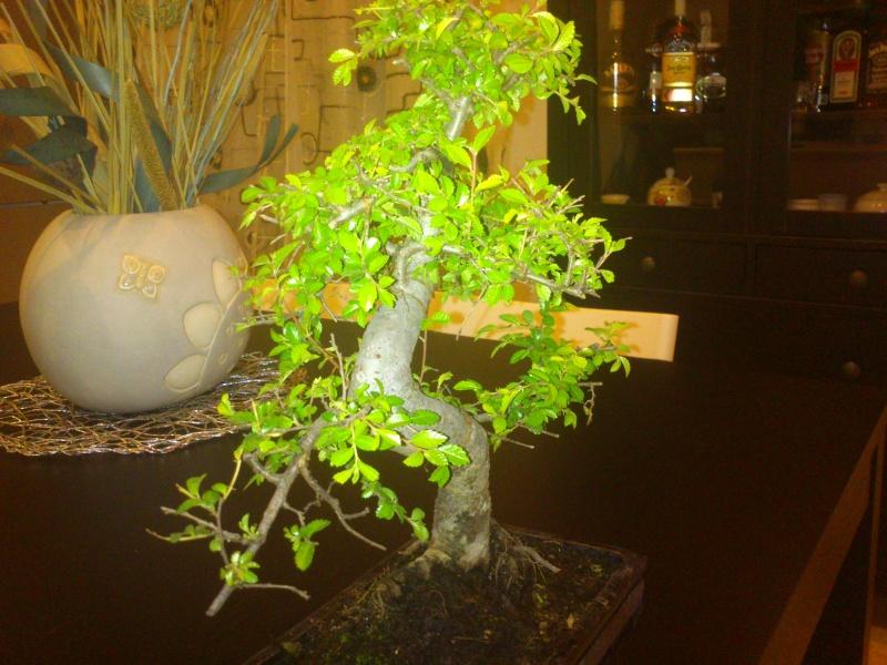 Nuovo bonsai appena preso? E'.... Dsc_0111