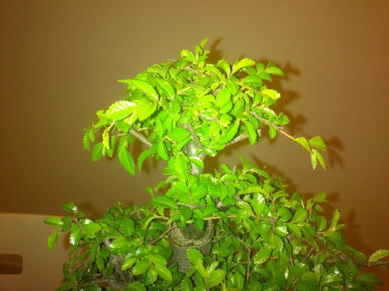 Nuovo bonsai appena preso? E'.... Dsc_0112