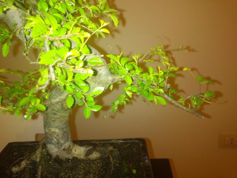 Nuovo bonsai appena preso? E'.... Dsc_0113