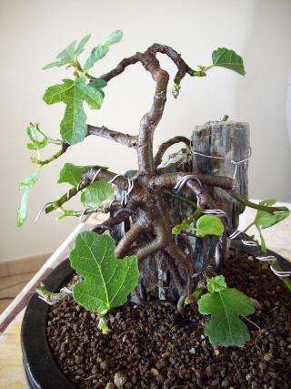 Ficus carica su roccia Imgp0910