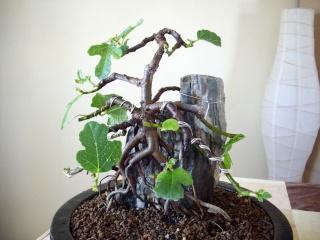 Ficus carica su roccia Imgp0911