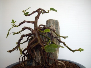 Ficus carica su roccia Imgp0913