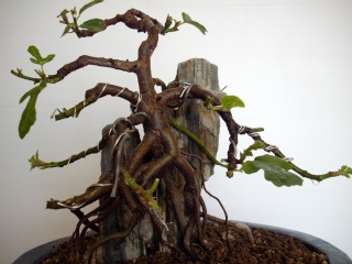 Ficus carica su roccia Imgp0914