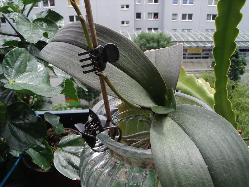 Phalenopsis in der Vase 211