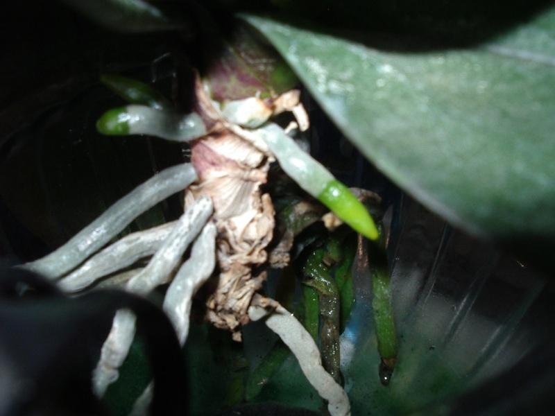 Phalenopsis in der Vase 610