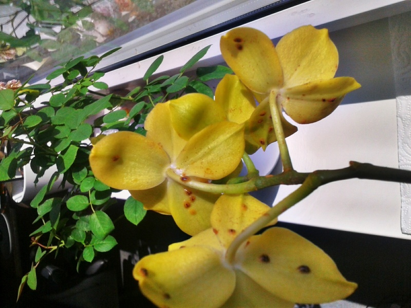 Hilfe! Meine Orchidee hat Schildläuse! C360_212