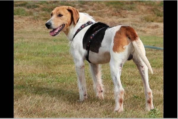 """urgent!! """"actif"""" beagle de 13 ans, 7 ans de refuge.. aidez le svp  Actif710"""